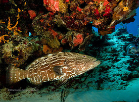 Grouper at cleaning station on San Francisco Wall divesite, Cozumel, Mexico