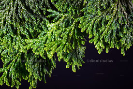 Macro pine foliage on black background