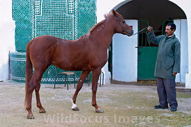 A fine Arabian horse at the Royal Stables, Meknes, Morocco; Landscape