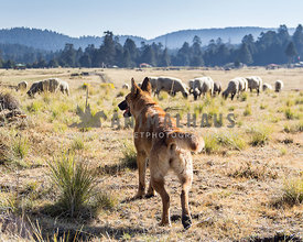 shepherd dog beside sheep herd in mexican countryside