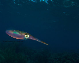 Squid underwater at La Dania's Leap divesite, Bonaire, Netherland Antillies