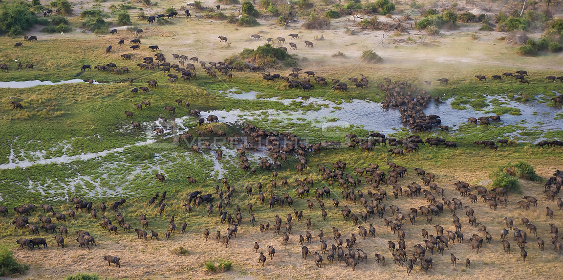 Cape Buffalo (Syncerus caffer) aerial view of herd crossing a water channel in the Okavango Delta, Botswana