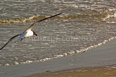 Hunting Gull- Hilton Head SC