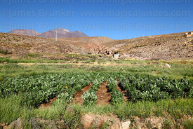 Broad bean (Vicia faba, habas) fields and Cerro Lejia volcano, Socaire, Region II, Chile