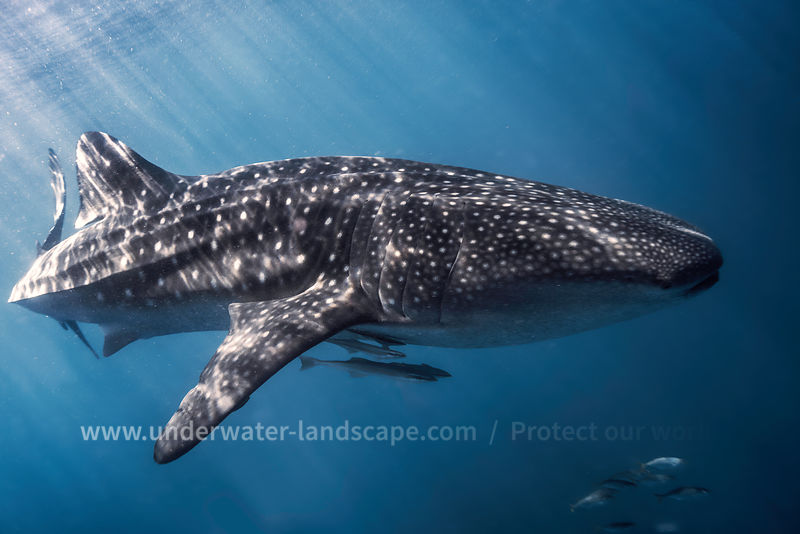 Whales Shark picture and remoras in Nosy Be