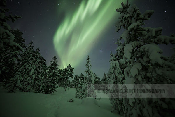 Aurora above snow covered trees near Kaamanen