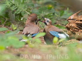 Eurasian Jay  Garrulus glandarius pair courtship feeding, male passing food to begging female North Norfolk summer