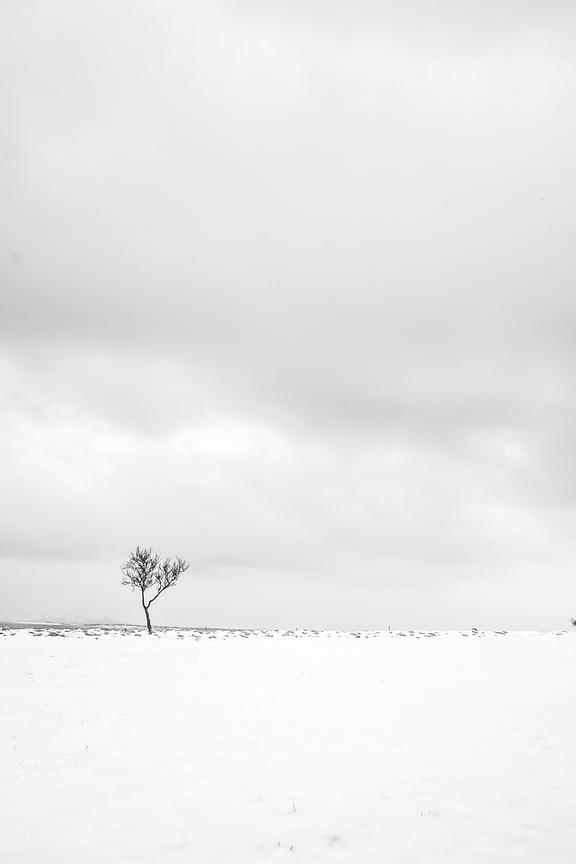 A lone bare tree in a snowy field, Iceland.
