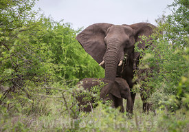 Mum and calf African Elephant (Loxodonta africana) near the S90, Kruger National Park,  South Africa; Landscape
