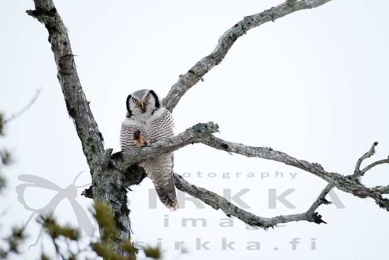 Hawk Owl photos