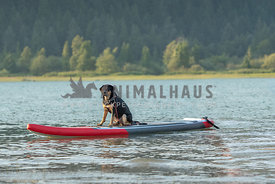 Rottweiler mix sitting on paddle board in lake