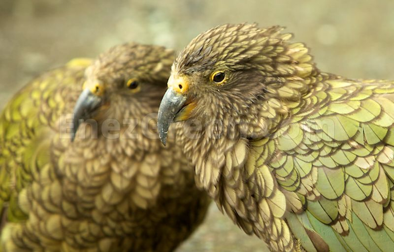 Couple of Keas  in New-Zealand