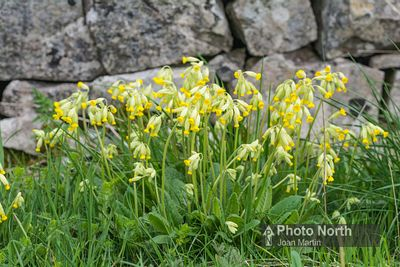 COWSLIP 04A - Cowslips