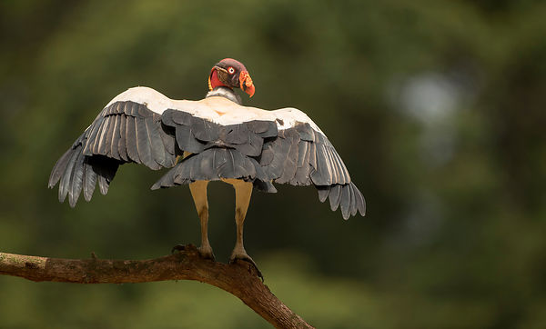 King Vulture - ugly or beautiful, your choice!