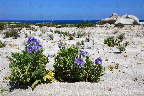 Plants flowering in sand dunes during Flowering Desert, Llanos de Challe National Park , Region III , Chile