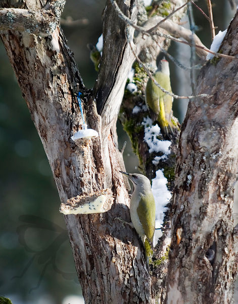 Woodpeckers - Tikat photos