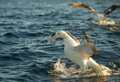 Wandering Albatros in New-Zealand
