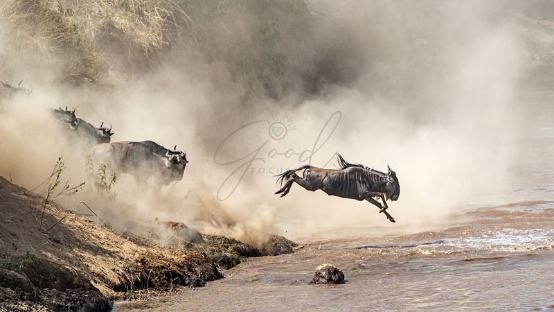 Wildebeest Leaping Into Mara River