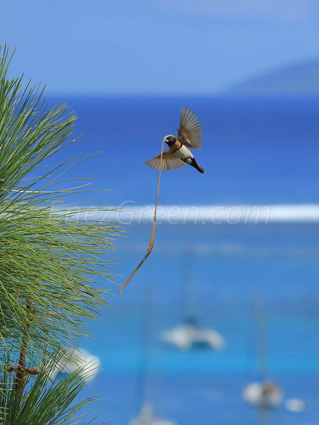 Bird nesting in Tahiti