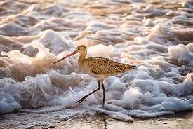 Marbled Godwit by the Sea
