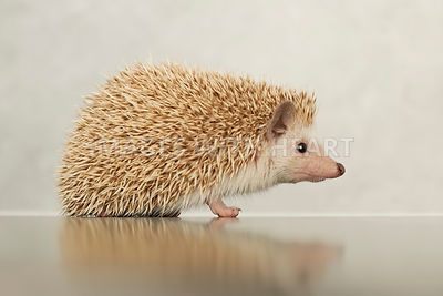 Young african pygmy hedgehog looking at camera on reflective surface.