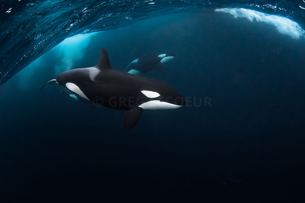 Orcas in Norway
