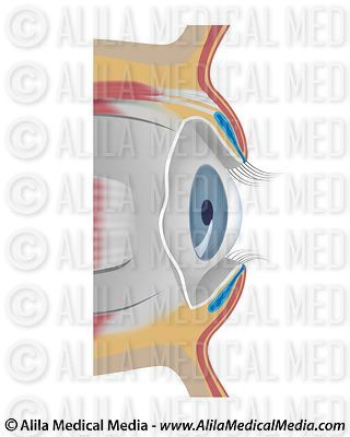 Eye conjunctiva, unlabeled.