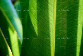 Banana tree leaf.