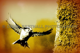 Long Tailed Tit In Flight - Abstract