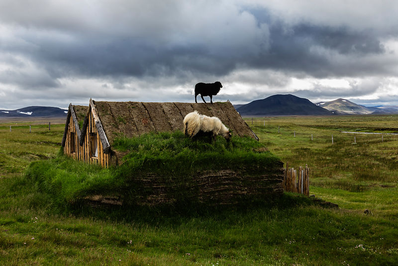 Sod House with Sheep on the Roof