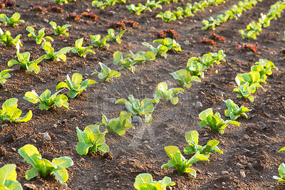 young red and green lettuces growing in field, Es Pla plain, Mallorca, Spain, August,