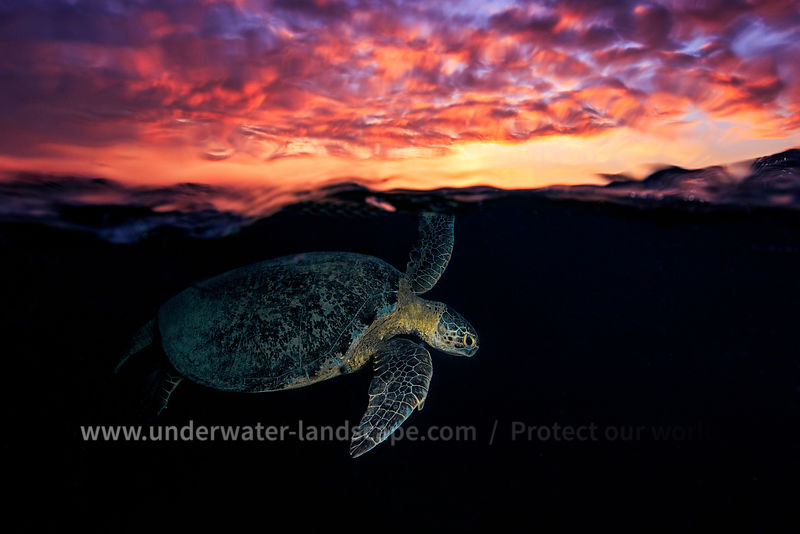Sunset sea Turtle