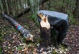 Hiker's Rucksack and aspens cut down by beaver next to hiking trail
