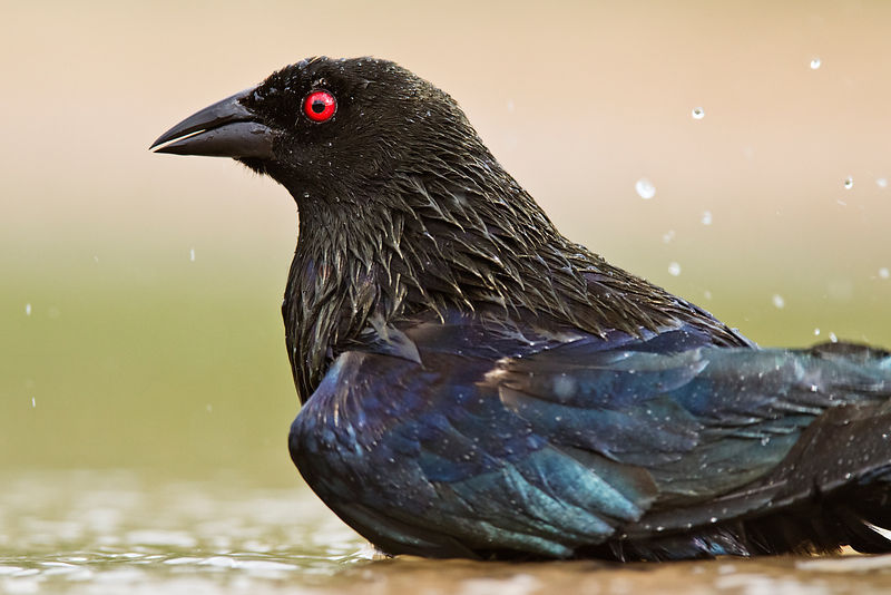 Bronze Cowbird Bathing