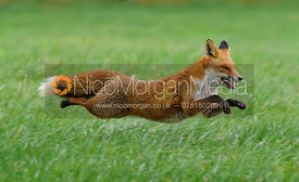 Flying Red Fox
