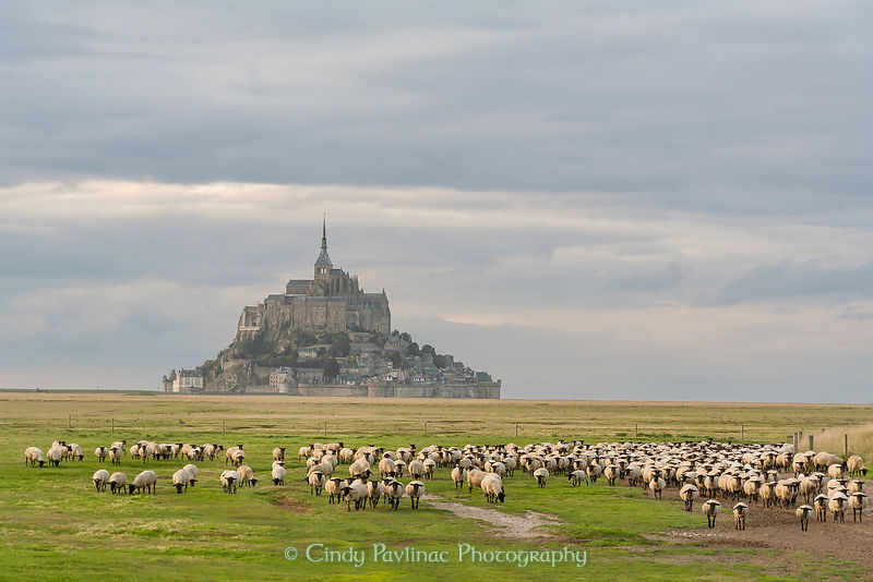 Mont-St-Michel Abbey Island Sheep