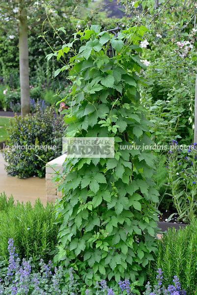 la phototh que les plus beaux jardins humulus lupulus houblon sur tuteur plante grimpante. Black Bedroom Furniture Sets. Home Design Ideas