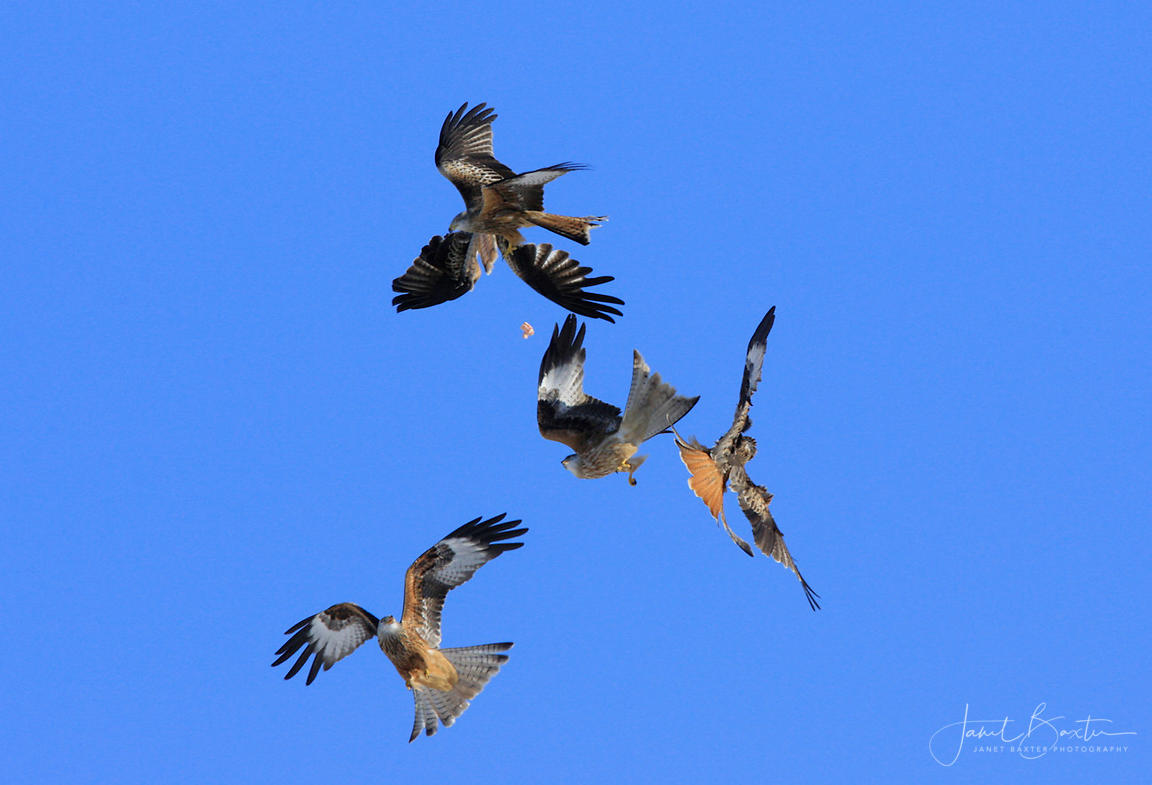 Red kites chasing