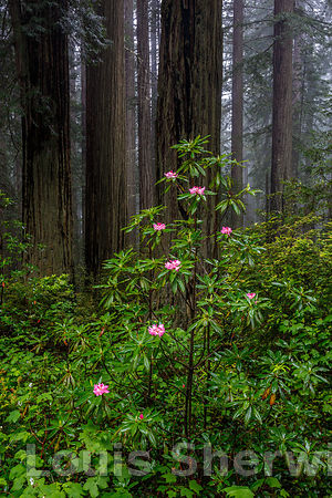 Rhododendrons blooming in Redwood NP