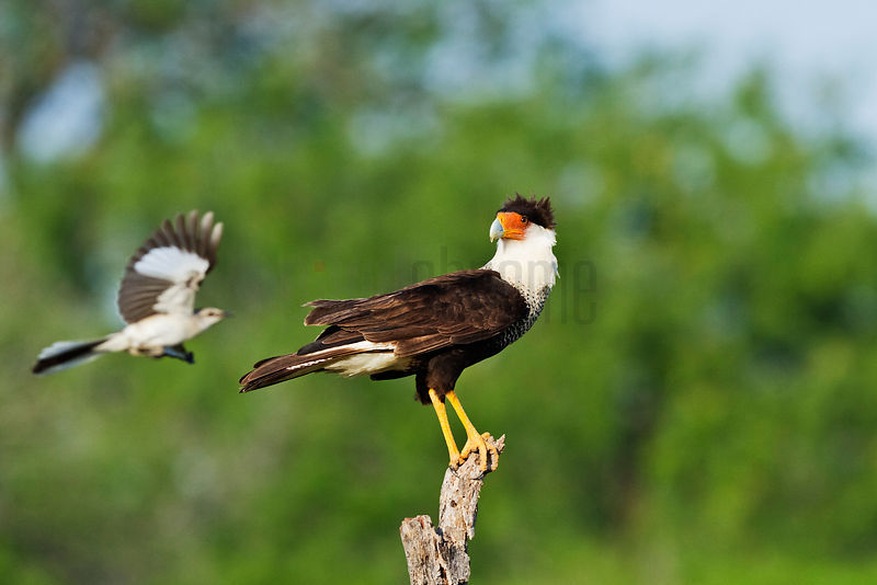 Crested Caracara being Mobbed by a Northern Mockingbird