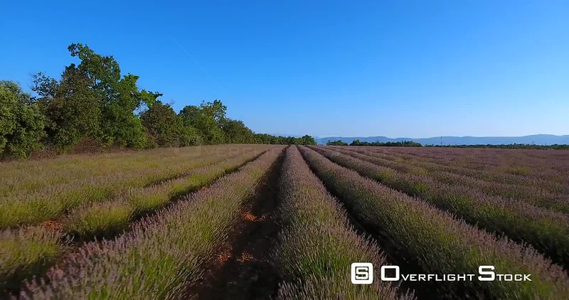 Lavender Flowers in Loumarin South of France