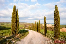 Tree lined road at sunset in springtime, Tuscany