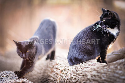 Two_Black_Cats_On_Log