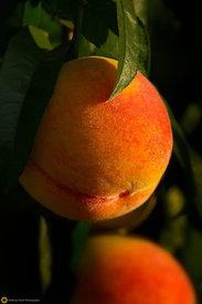 Ripe Peaches on the Tree #4