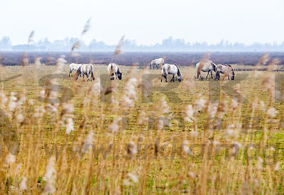 Konik Horses in Lauwersmeer National Park