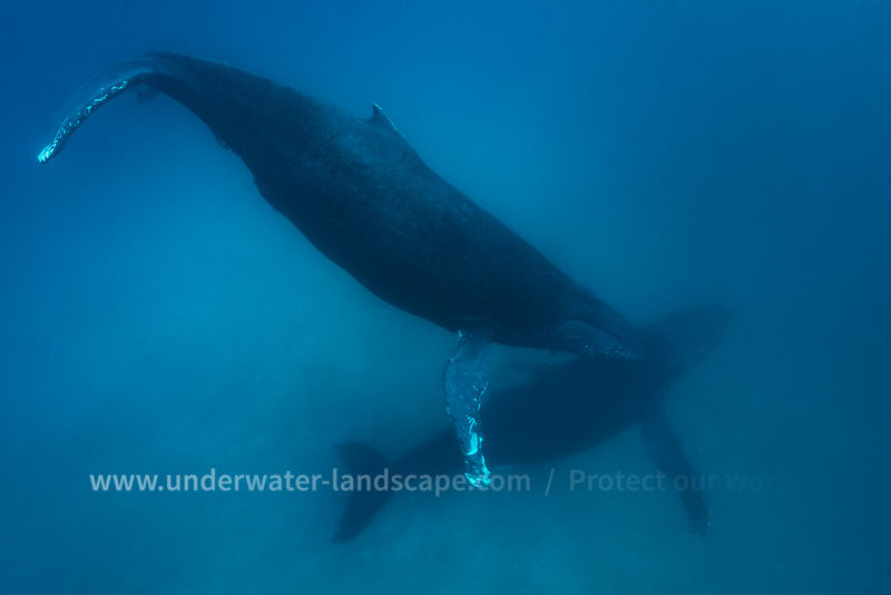 Humpback whale of Mayotte Island