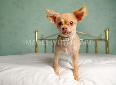 Female Pomeranian mix with underbite in a pearl necklace standing on a bed
