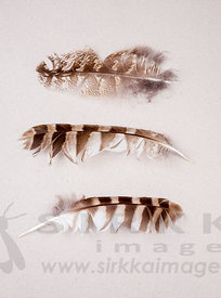 Eagle Owl´s and Ural Owl´s feathers