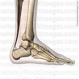 ankle-retrocalcaneal-bursa-retrocalcanea-achilles-tendon-calcaneus-lateral-skin