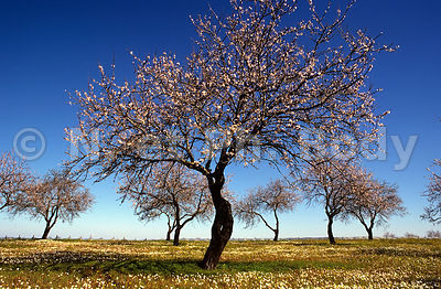 PORTUGAL, AMANDIERS//PORTUGAL, ALMOND TREES